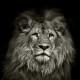 a proud lion is pensive pose